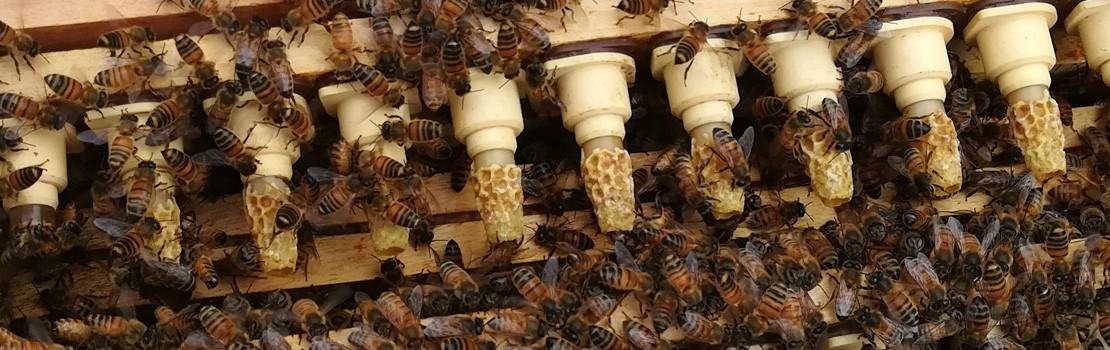 Cellules Royales d'abeille Buckfast